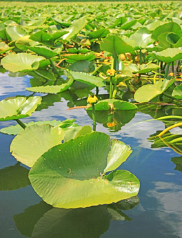 Aquatic plants freshwater sportfishing love the outdoors for Freshwater pond plants