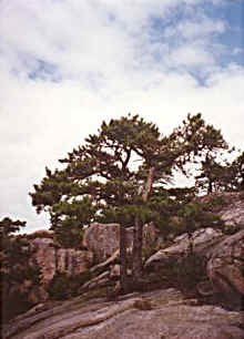 Tree on Mountain in Acadia National Park