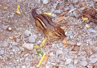 Our Friend From Maine - Mr. Chipmunk