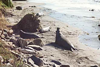 Elephant Seals along the Pacific Coast Highway, California