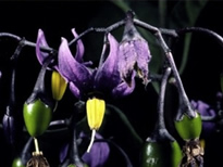 Deadly Nightshade Plant